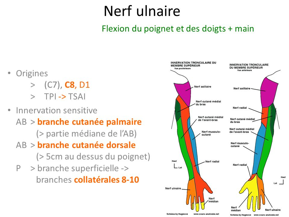 Nerf ulnaire Flexion du poignet et des doigts + main