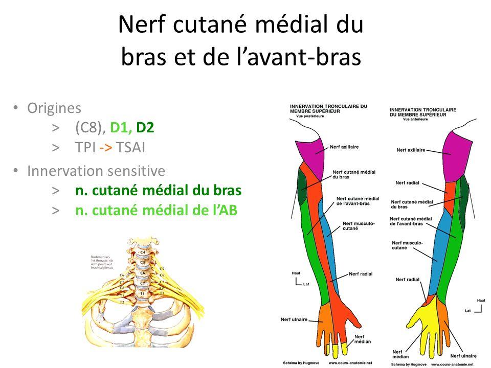 Nerf cutané médial du bras et de l'avant-bras