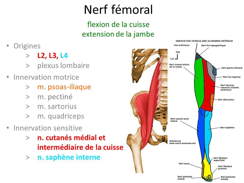 Nerf fémoral flexion de la cuisse extension de la jambe