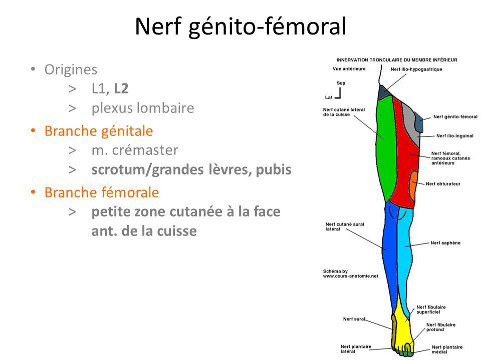 Nerf génito-fémoral Origines > L1, L2 > plexus lombaire