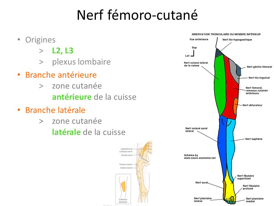 Nerf fémoro-cutané Origines > L2, L3 > plexus lombaire