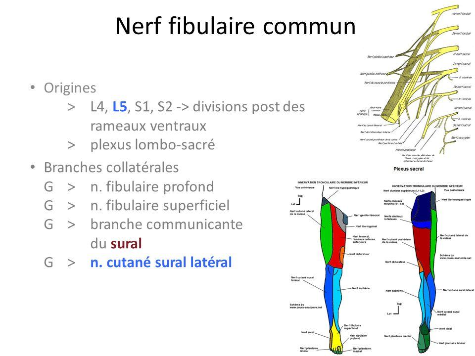 Nerf fibulaire commun Origines > L4, L5, S1, S2 -> divisions post des rameaux ventraux > plexus lombo-sacré.