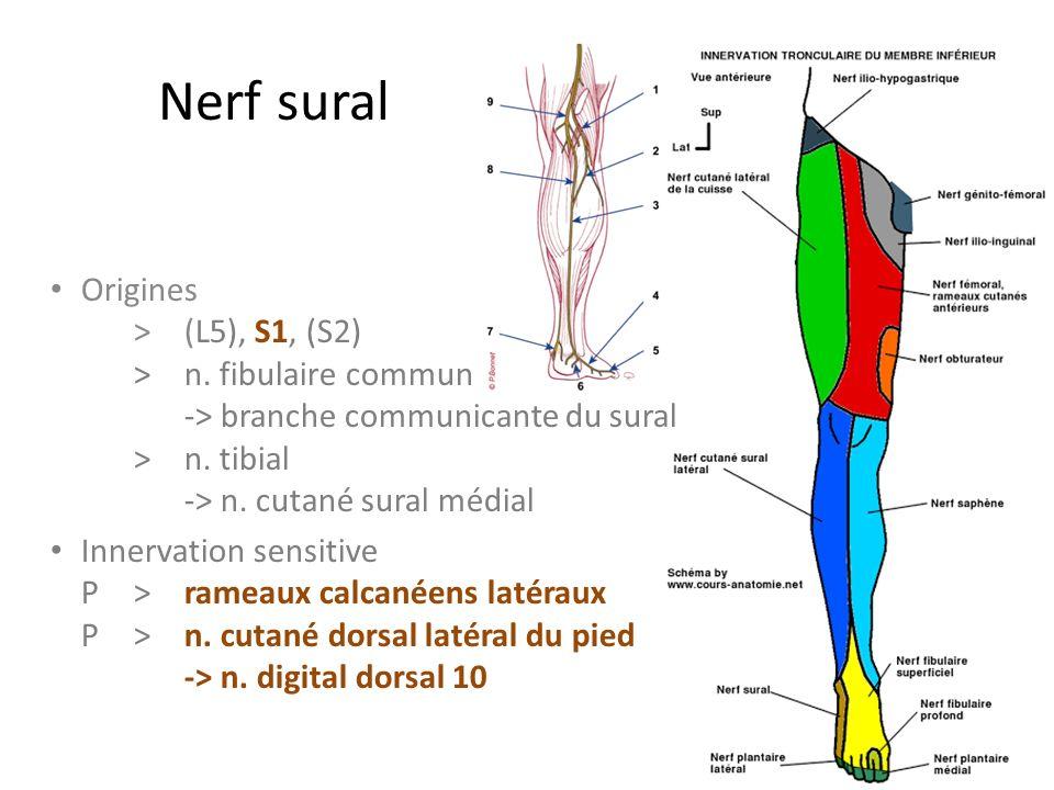 Nerf sural Origines > (L5), S1, (S2) > n. fibulaire commun -> branche communicante du sural > n. tibial -> n. cutané sural médial.