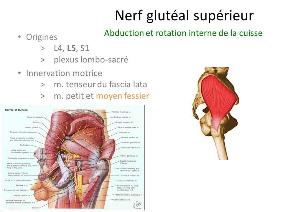 Nerf glutéal supérieur