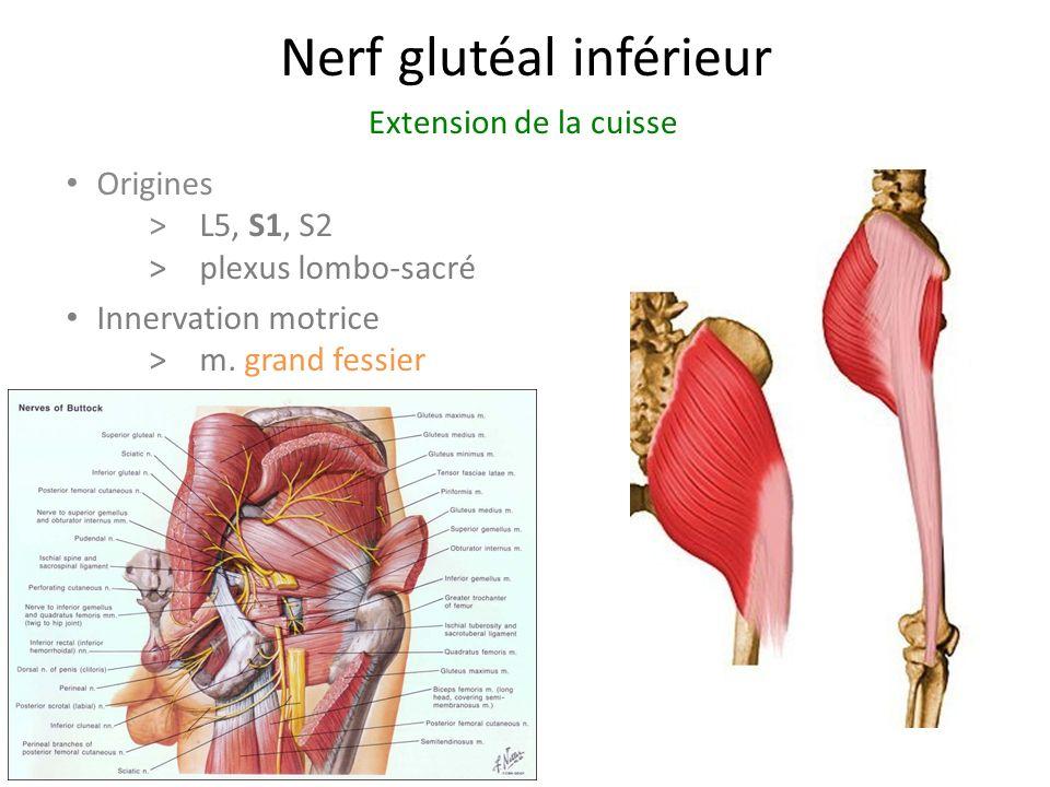 Nerf glutéal inférieur