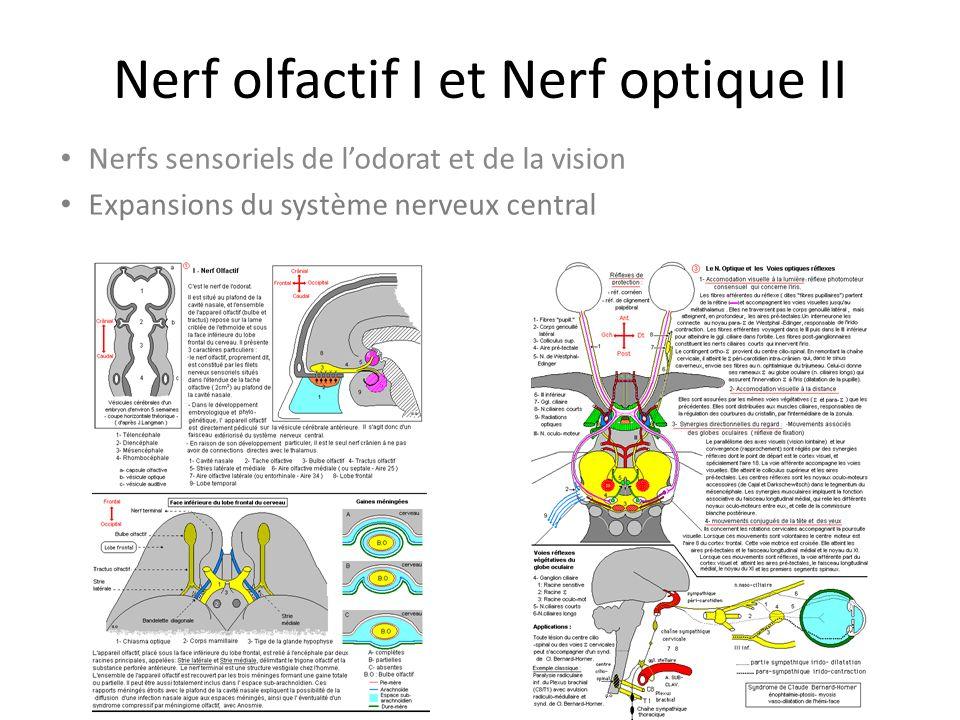 Nerf olfactif I et Nerf optique II