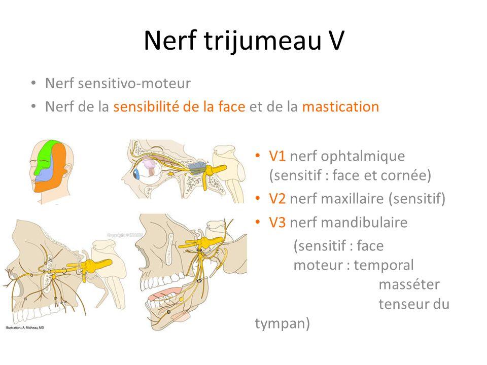 Nerf trijumeau V Nerf sensitivo-moteur