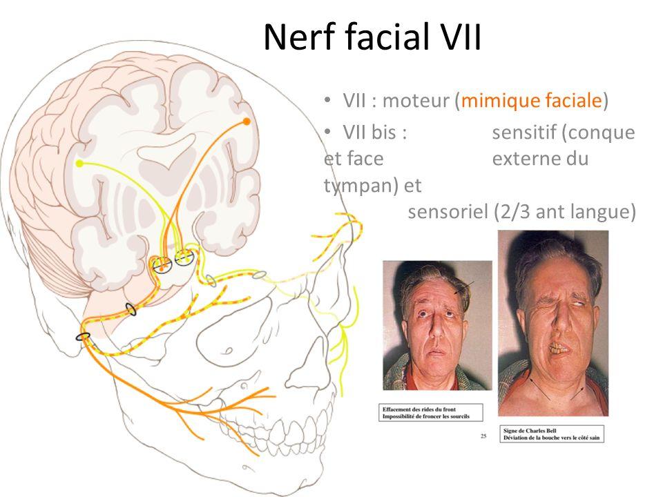Nerf facial VII VII : moteur (mimique faciale)