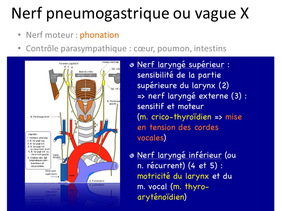 Nerf pneumogastrique ou vague X
