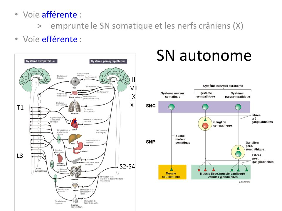 Voie afférente : > emprunte le SN somatique et les nerfs crâniens (X)