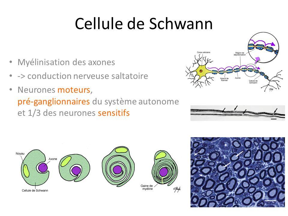 Cellule de Schwann Myélinisation des axones