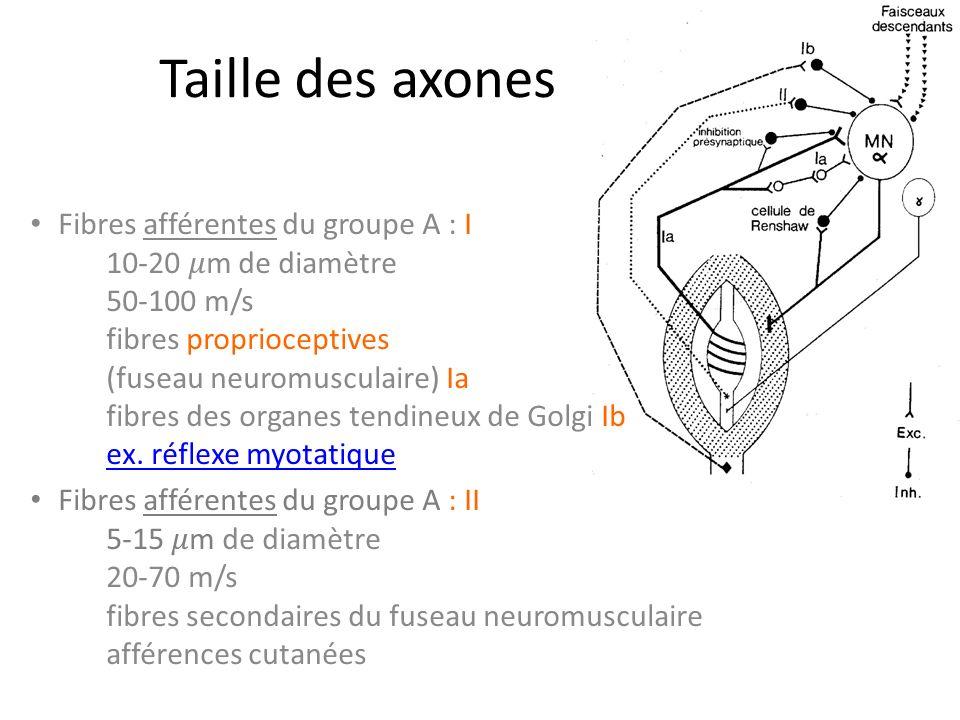 Taille des axones