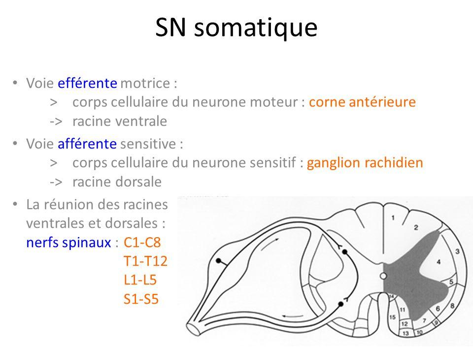 SN somatique Voie efférente motrice : > corps cellulaire du neurone moteur : corne antérieure -> racine ventrale.