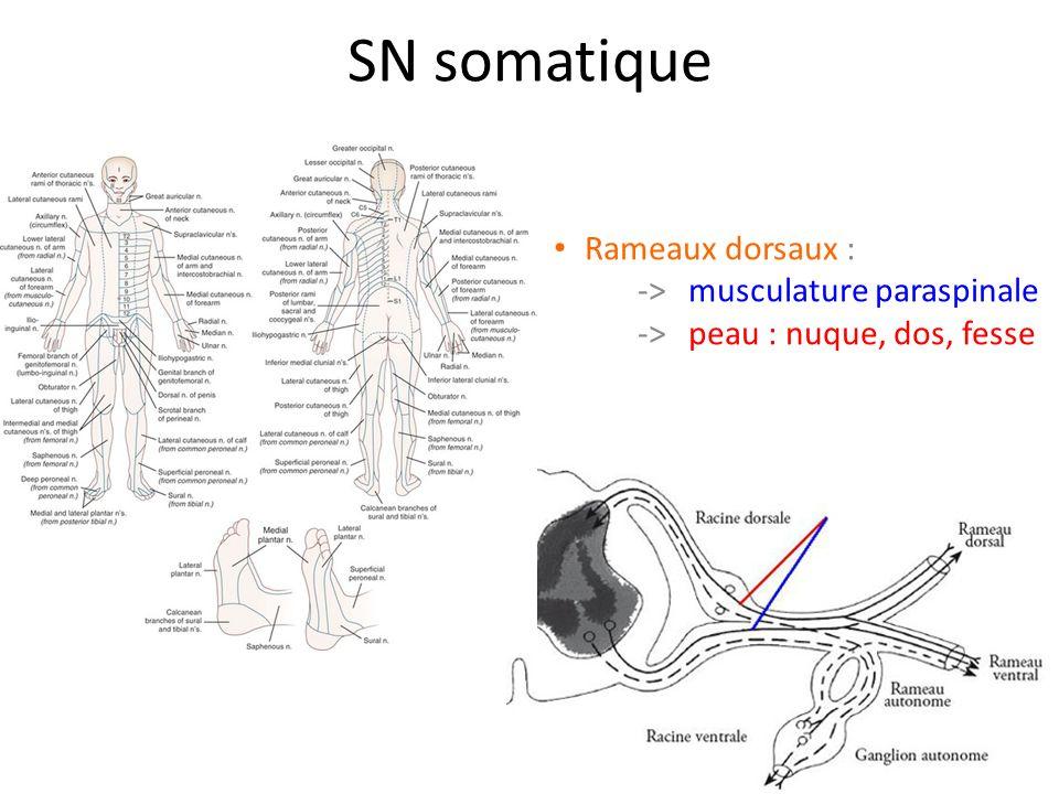 SN somatique Rameaux dorsaux : -> musculature paraspinale -> peau : nuque, dos, fesse