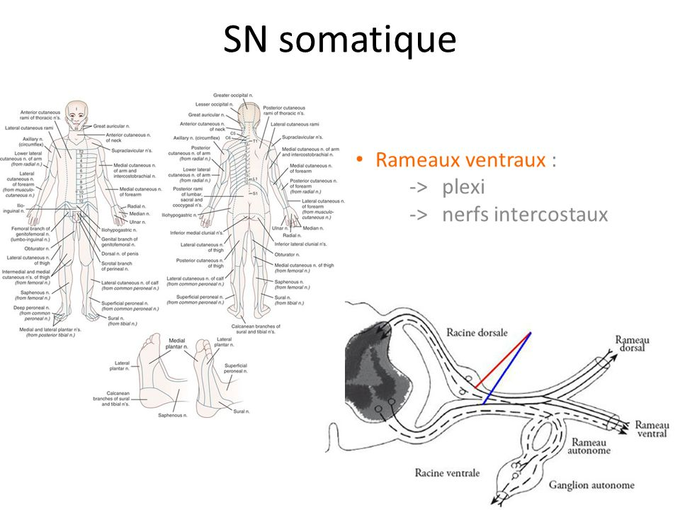 Rameaux ventraux : -> plexi -> nerfs intercostaux