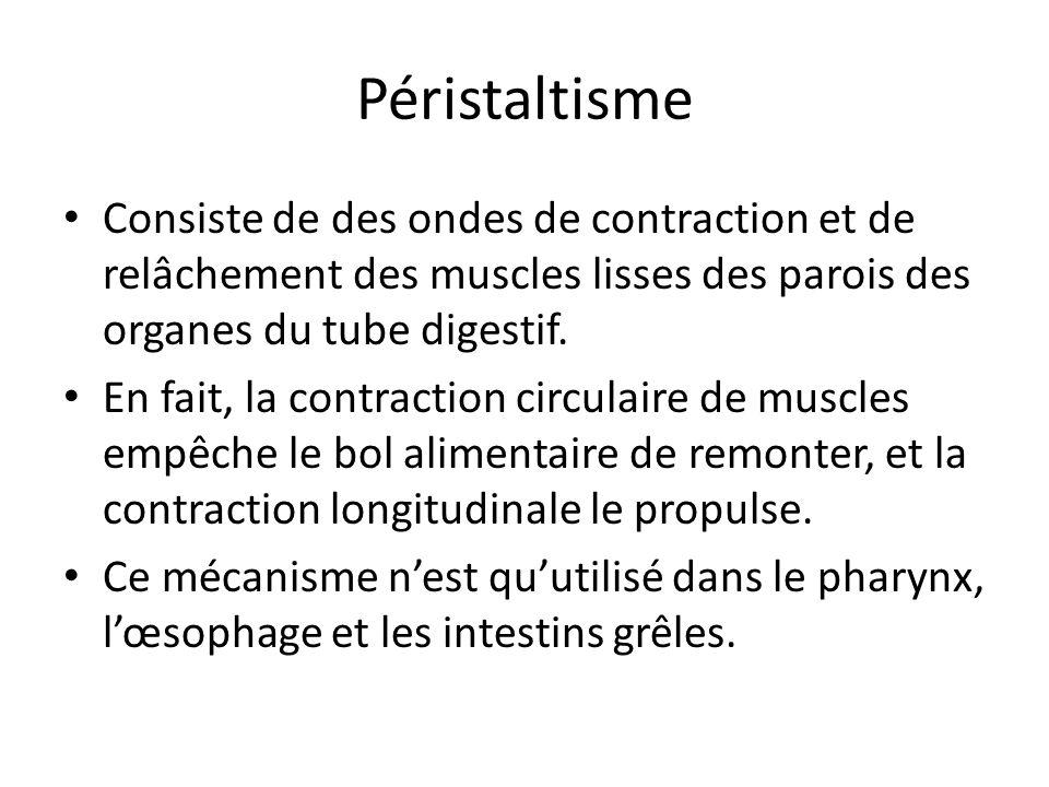 Péristaltisme Consiste de des ondes de contraction et de relâchement des muscles lisses des parois des organes du tube digestif.