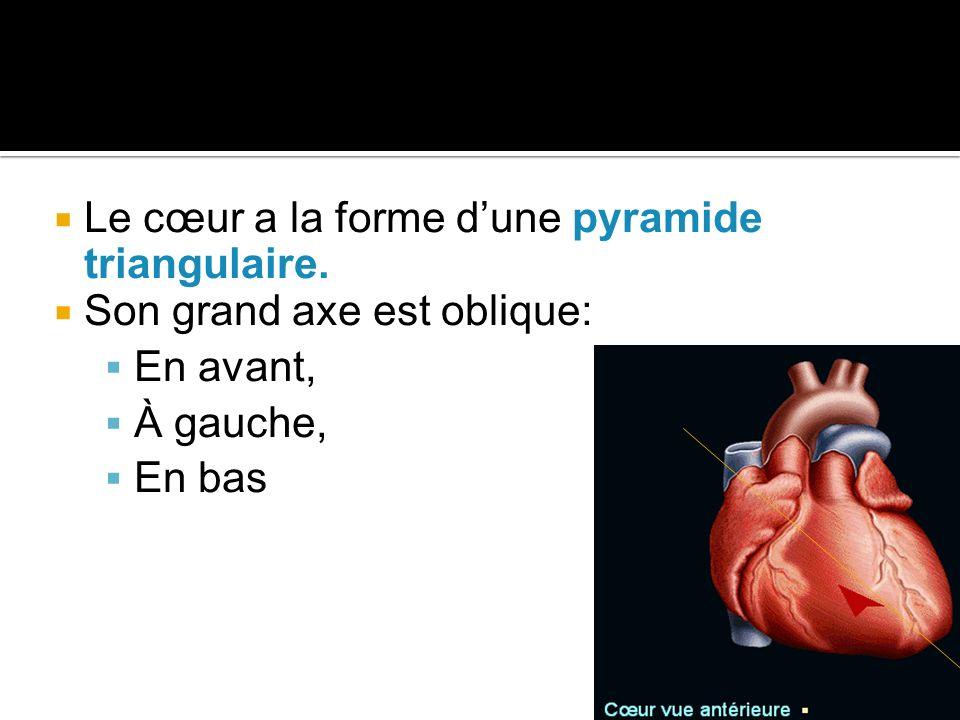 Le cœur a la forme d'une pyramide triangulaire.