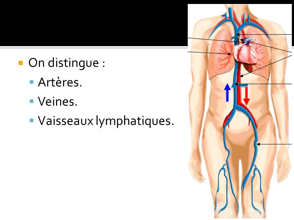 On distingue : Artères. Veines. Vaisseaux lymphatiques.