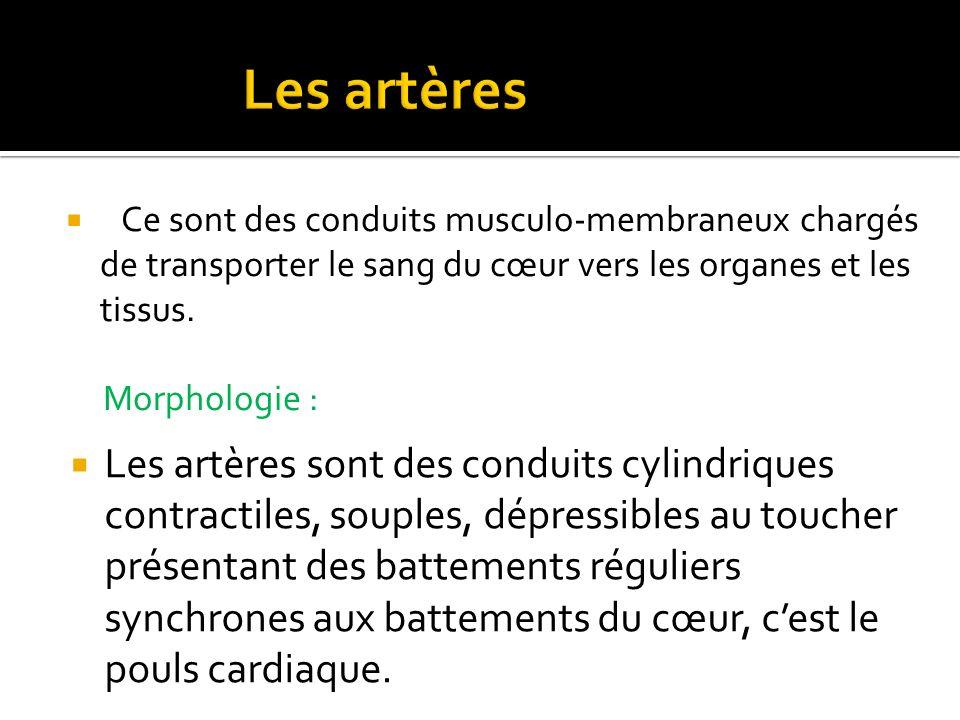 Les artères Ce sont des conduits musculo-membraneux chargés de transporter le sang du cœur vers les organes et les tissus.