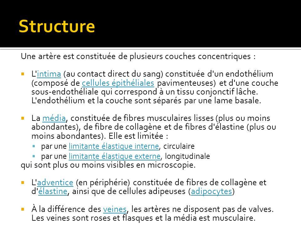 Structure Une artère est constituée de plusieurs couches concentriques :