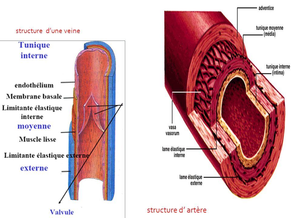 structure d'une veine structure d' artère