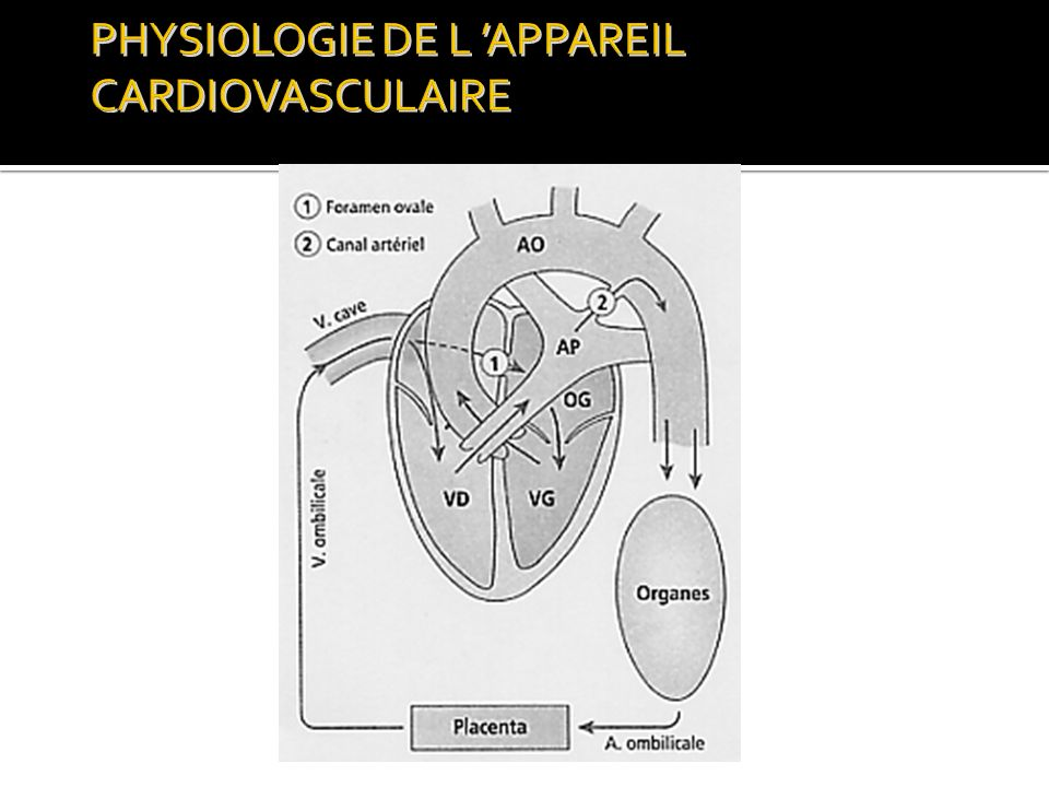 PHYSIOLOGIE DE L 'APPAREIL CARDIOVASCULAIRE