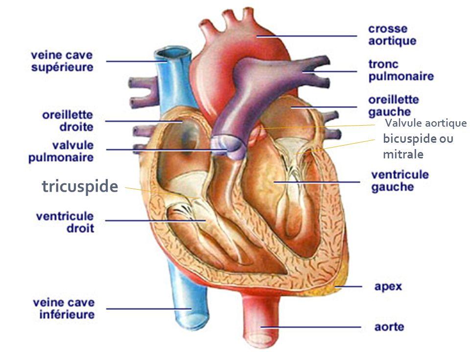 tricuspide bicuspide ou mitrale Valvule aortique