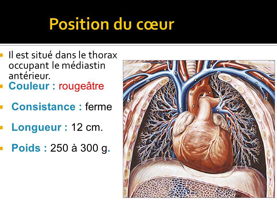 Position du cœur Il est situé dans le thorax occupant le médiastin antérieur. Couleur : rougeâtre.