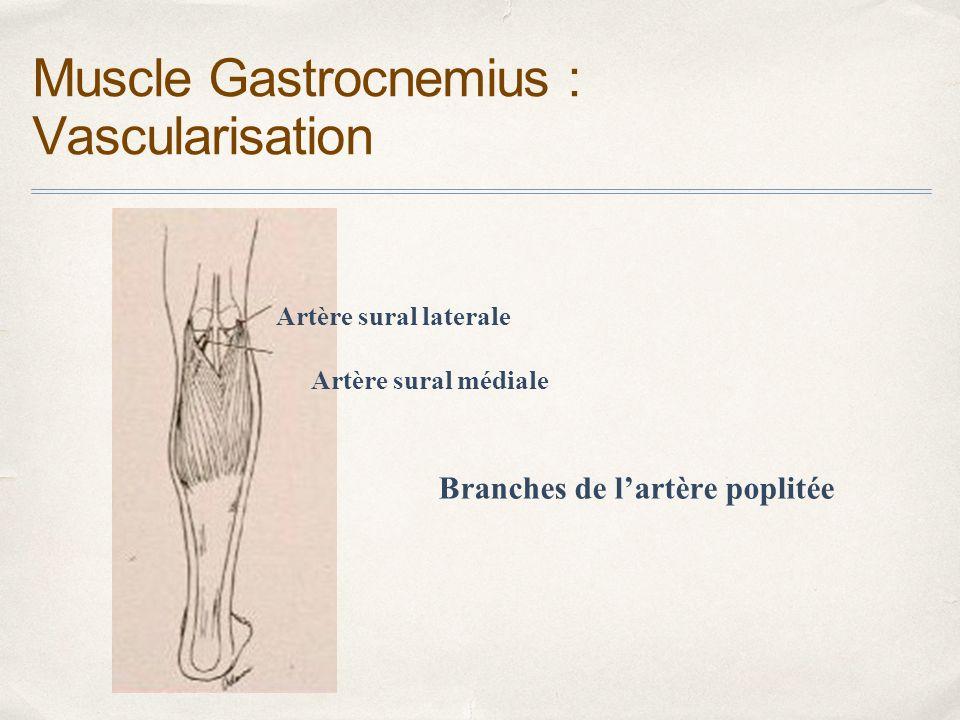 Fein Medial Leiter Gastrocnemius Galerie - Anatomie und Physiologie ...