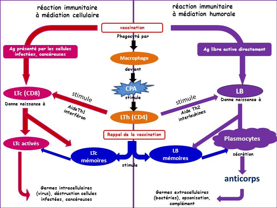 anticorps LB CPA LTc (CD8) stimule stimule LTh (CD4) Plasmocytes