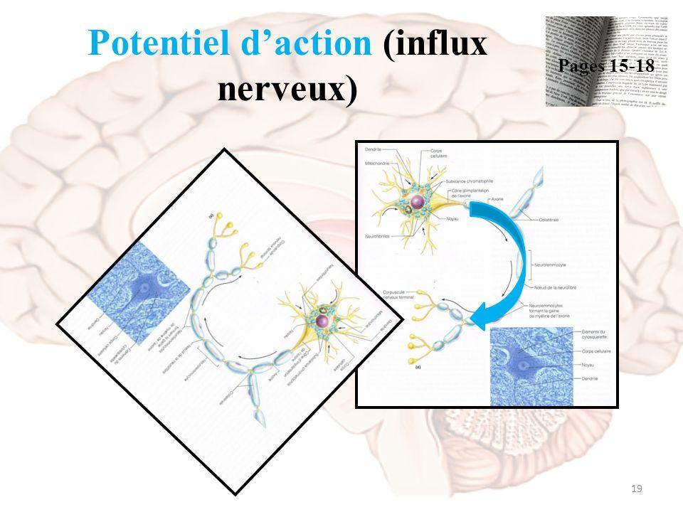 La neurophysiologie stimuli excitable sensible aux for Influx nerveux