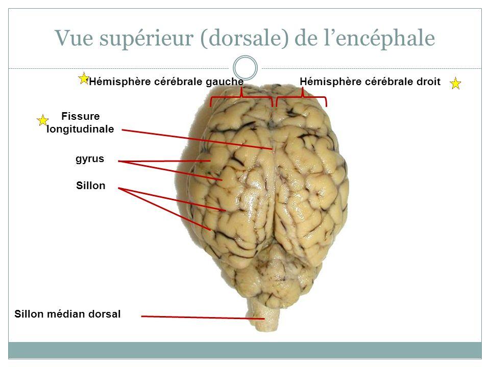 Vue supérieur (dorsale) de l'encéphale