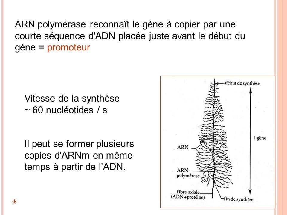 Vitesse de la synthèse ~ 60 nucléotides / s