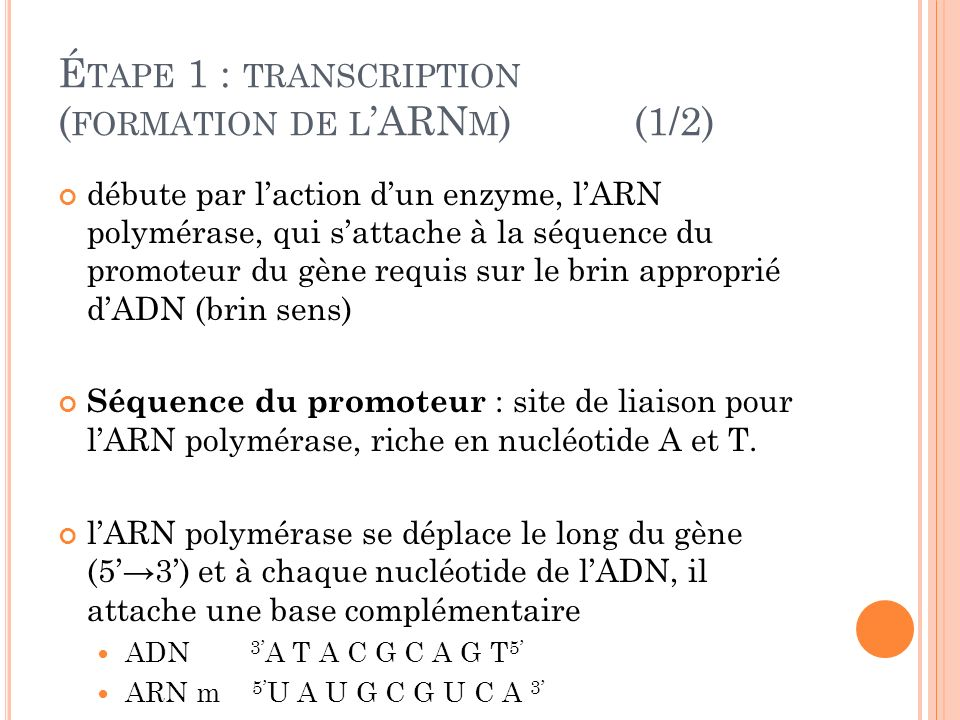 Étape 1 : transcription (formation de l'ARNm) (1/2)