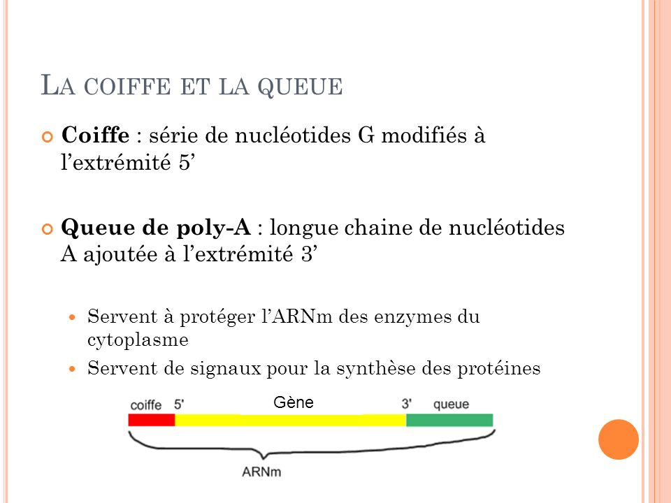 La coiffe et la queue Coiffe : série de nucléotides G modifiés à l'extrémité 5'