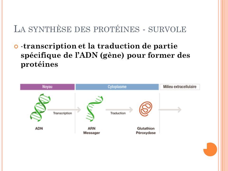 La synthèse des protéines - survole