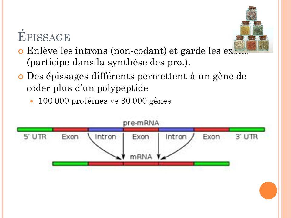 Épissage Enlève les introns (non-codant) et garde les exons (participe dans la synthèse des pro.).