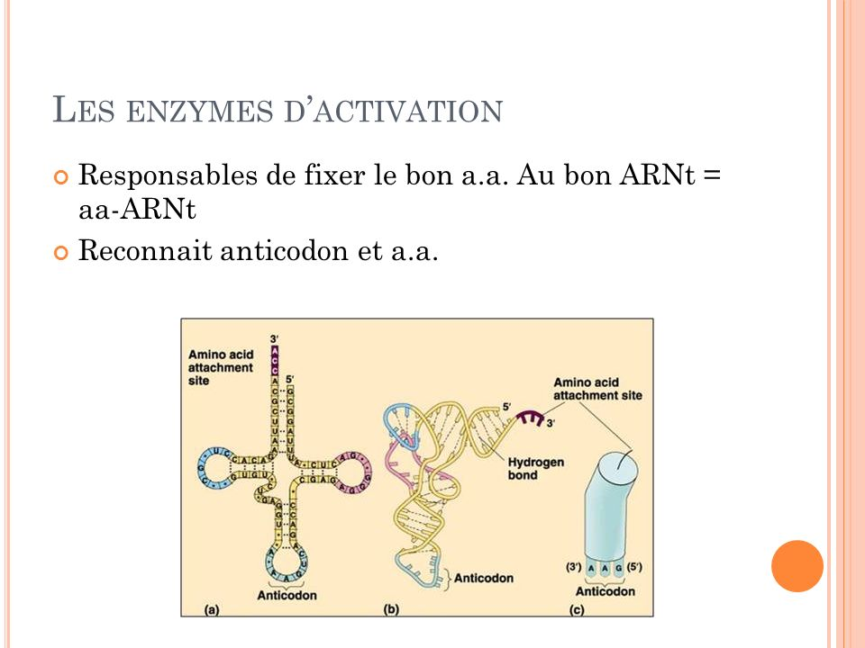 Les enzymes d'activation