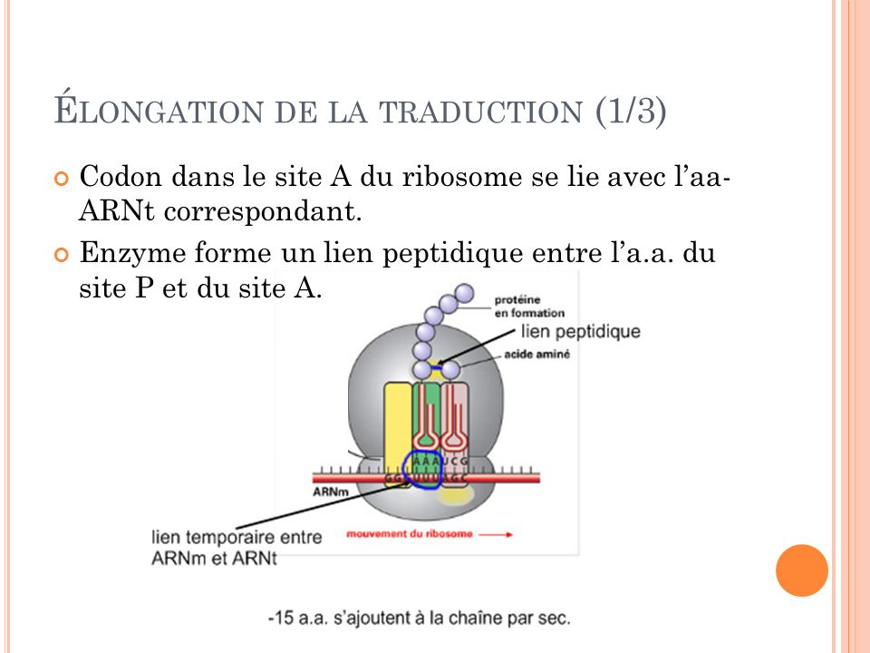 Élongation de la traduction (1/3)