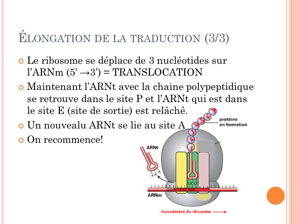 Élongation de la traduction (3/3)