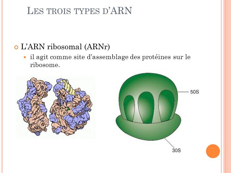 Les trois types d'ARN L'ARN ribosomal (ARNr)