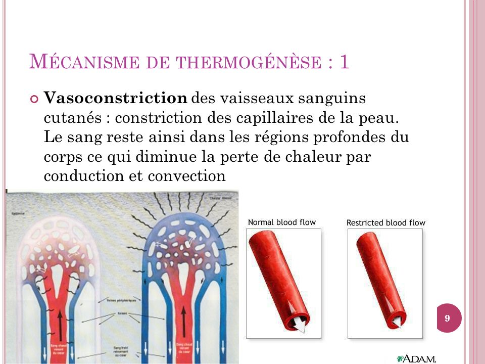 Mécanisme de thermogénèse : 1