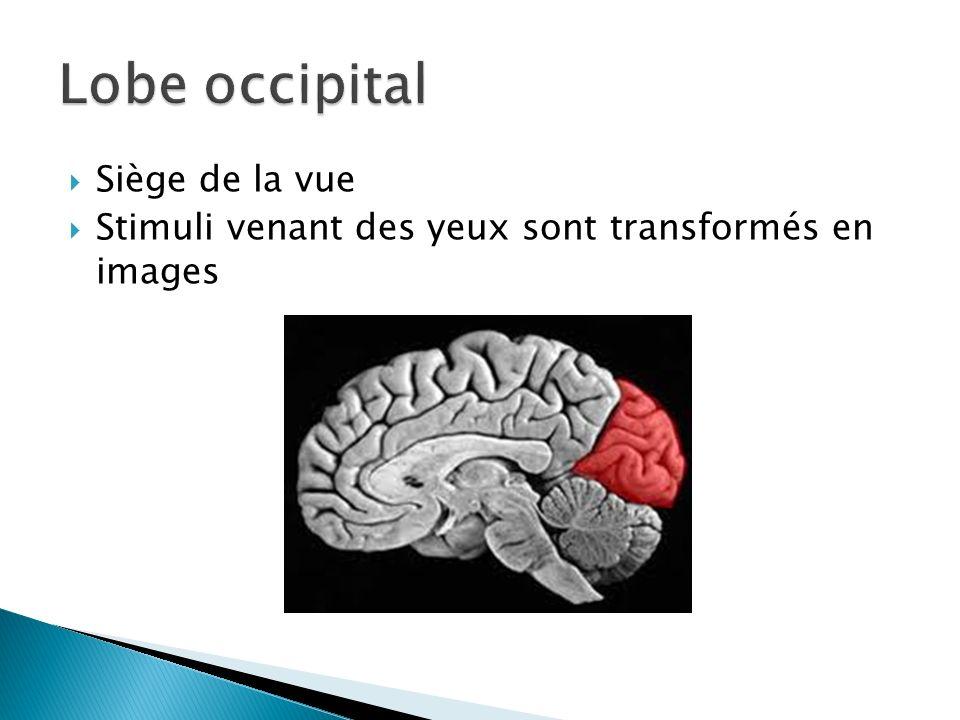 Lobe occipital Siège de la vue