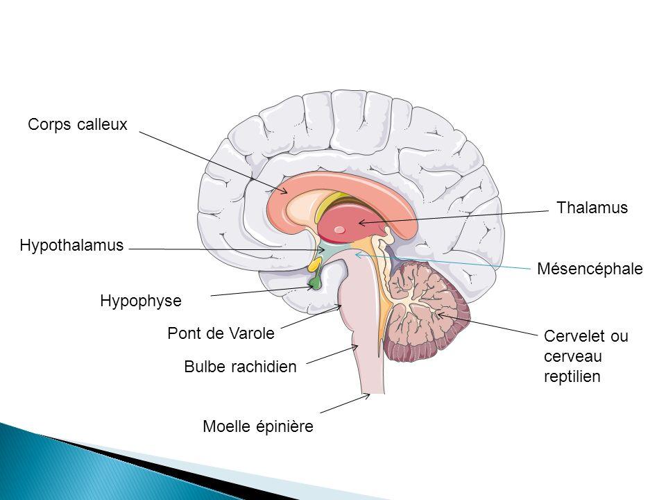 Corps calleux Thalamus. Hypothalamus. Mésencéphale. Hypophyse. Pont de Varole. Cervelet ou cerveau reptilien.