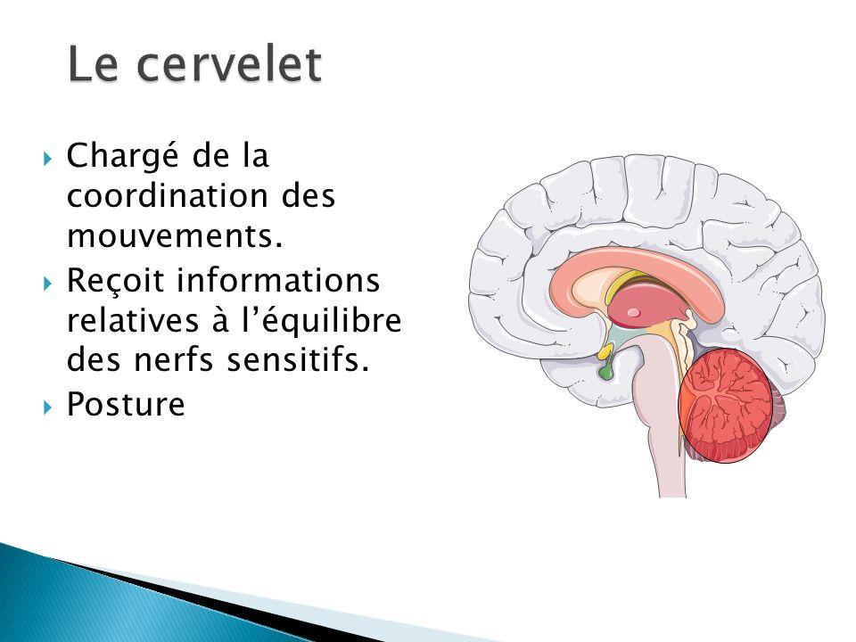 Le cervelet Chargé de la coordination des mouvements.