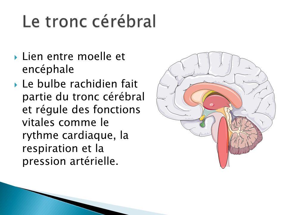 Le tronc cérébral Lien entre moelle et encéphale