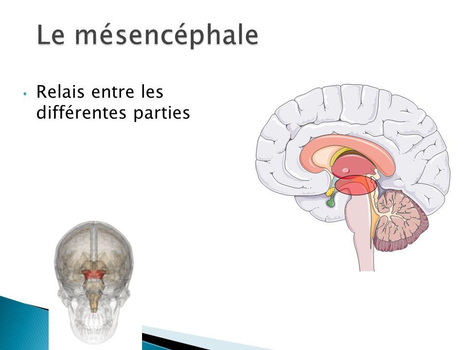 Le mésencéphale Relais entre les différentes parties
