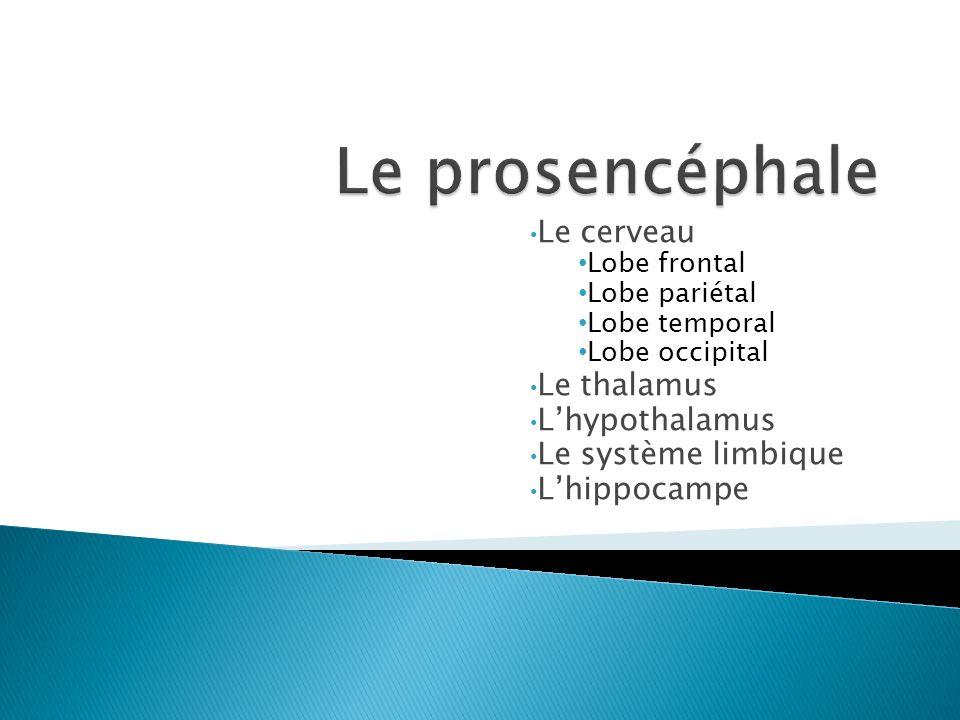 Le prosencéphale Le cerveau Le thalamus L'hypothalamus