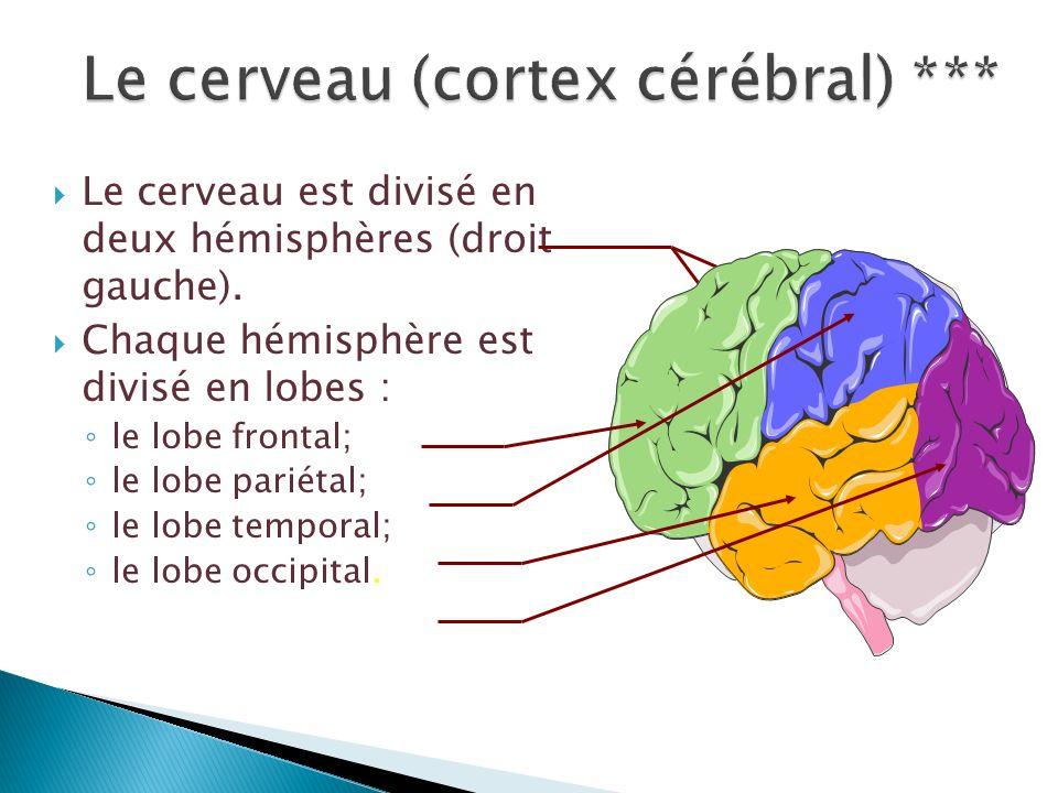 Le cerveau (cortex cérébral) ***