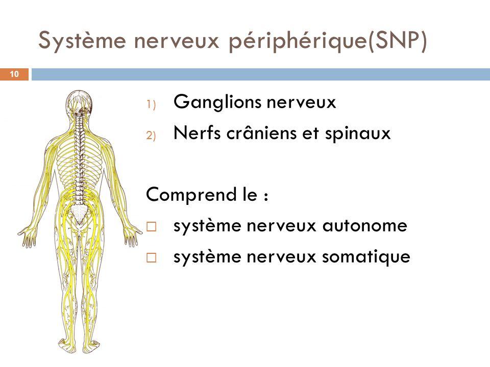 Système nerveux périphérique(SNP)